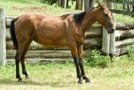 Lam horse